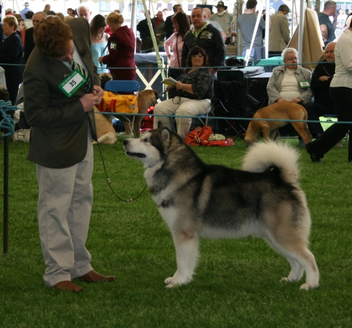 Hades is an American Champion; Hades and Effie at the Dutch Specialty and Antwerp; Birmingham National Dog Show