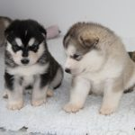 Marahootay puppies at 4 weeks old