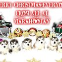 Merry Christmas everyone from all of us at Marahootay … here's your 7 week puppy pictures