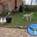Timber (Marahootay Roc Star) and some chickens, together in perfect harmony!