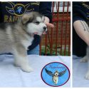 Puppies available from the 2016 Lilo x JJ litter